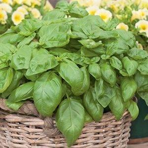 basil herb delivery Greenock