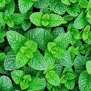mint herb delivery Greenock